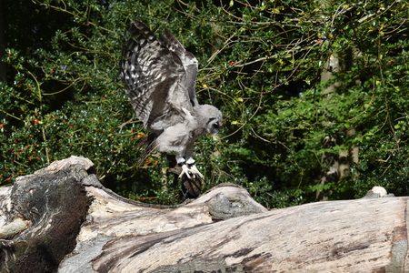 swoop: African Verreaux eagle owl coming in to land on tree