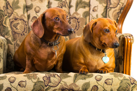 wiener dog: Dachshund puppies getting studio shots, Wiener dog Stock Photo