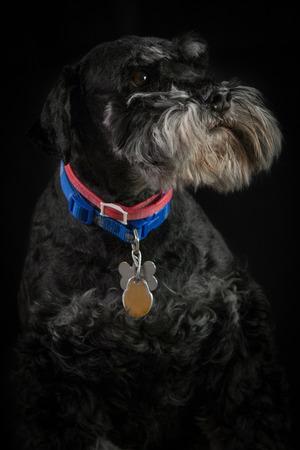 미니어처 슈 나 우 저 강아지, 검은 백그라운드와 스튜디오에서 촬영 가까이 스톡 콘텐츠