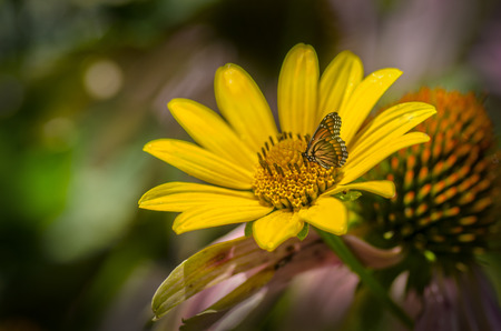 모나 크 나비의 rudbeckia 밝은 노란색 해바라기 꽃밭에 앉아. 스톡 콘텐츠