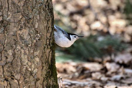 White Breasted Nuthatch on Tree Trunk photo