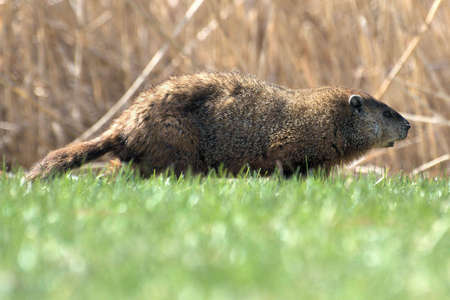 Groundhog (Woodchuck) photo