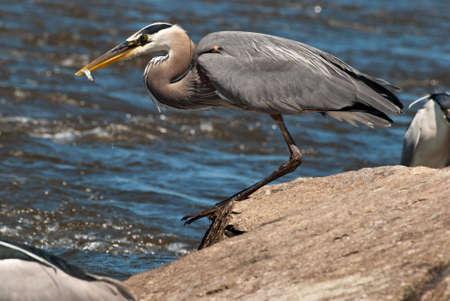 blue fish: Great Blue Heron with fish in beak