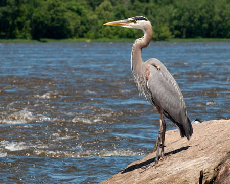 Great Blue Heron on Boulder by River