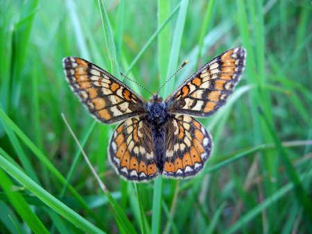 Marsh Fritillary Butterfly in grass Banco de Imagens - 14085159