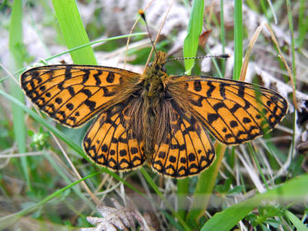 Small pearl bordered fritillary butterfly at rest                          Banco de Imagens