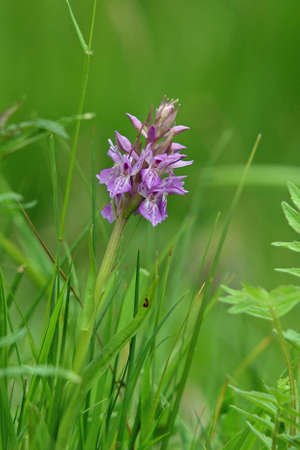 Southern marsh orchid hybrid