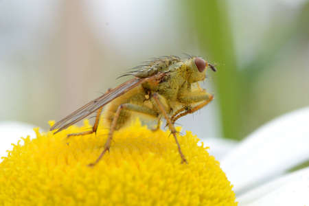 pollinators: Yellow dung fly with pollen Stock Photo