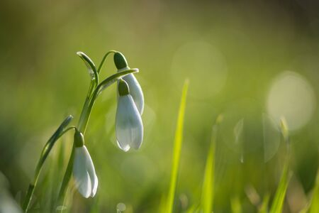 snowdrops in grass Banco de Imagens