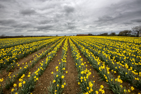 Daffodil fields (narcissus) with grey overcast moody sky