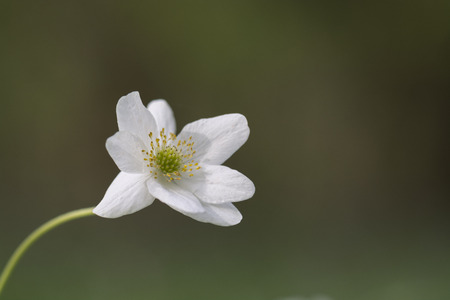 Wood anemone single against green background, Cornwall, UK