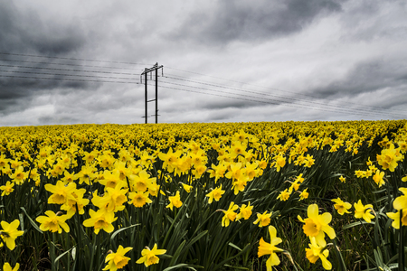 moody sky: Daffodil fields (narcissus) with grey overcast moody sky