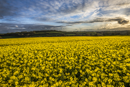 Rape seed fields at sunset with cloudy sky, Cornwall, UK