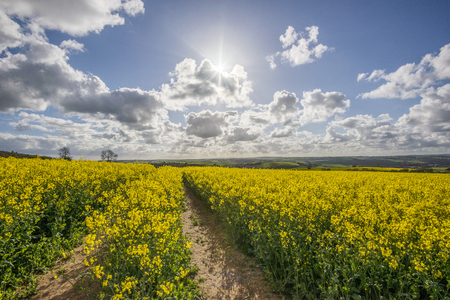 Rape seed fields with beautiful blue  cloudy sky, Cornwall, UK