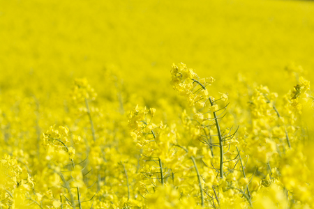Yellow Rapeseed field, at Morval, Cornwall, UK