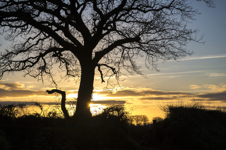 Oak tree silhouette with winter sunset background