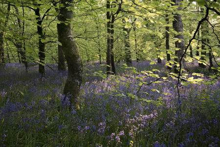Bluebell woods in the evening light, Lanhydrock, Cornwall, UK