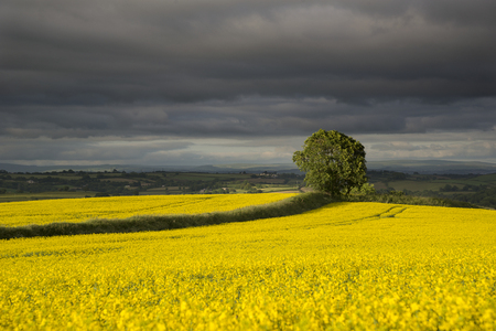 Tree in golden rape seed fields in the golden hour with stormy cloudy background