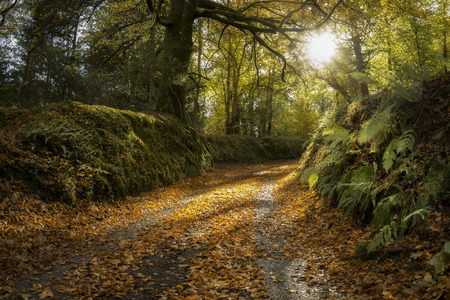 Autumn lane with leaves on the ground and sunshine beaming through trees, Cornwall, UK