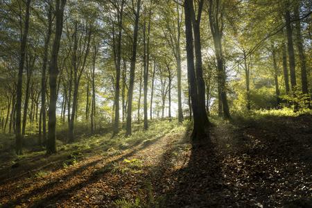 Sunlight beams through autumn beech woodland, Cornwall, UK Banco de Imagens