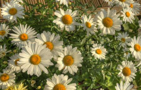 daises: Summer Daises