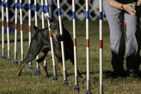 blue doberman doing agility Stock fotó - 17174944