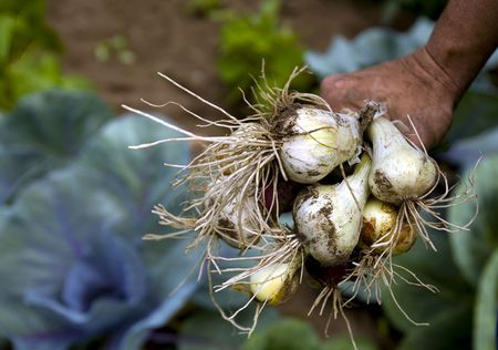 recently: Onions grown in a garden are recently picked.  Stock Photo