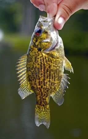 Holding a small Rock Bass that was caught while fishing in northern Wisconsin. Stock Photo - 4013923