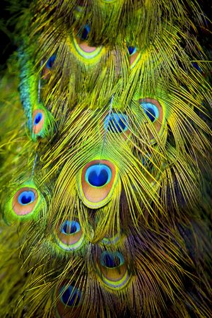 attention grabbing: The tail feathers of a male Peacock. Stock Photo