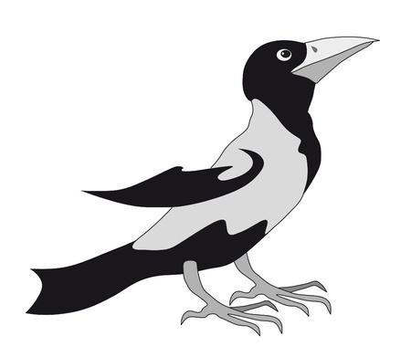 urraca: Urraca negro aislado
