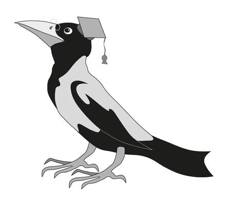 urraca: raven lindo sobre fondo blanco