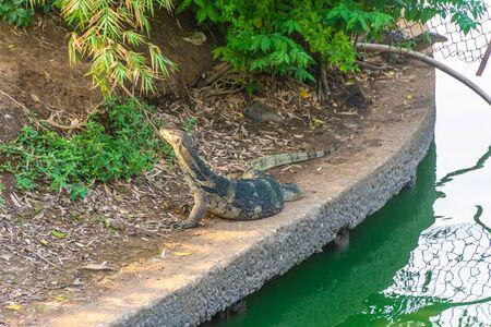 Wild monitor lizard in Lumphini Park, Bangkok, Thailand 写真素材 - 149569713