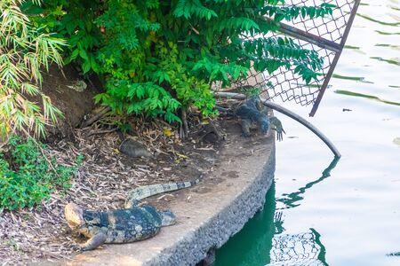 Wild monitor lizard in Lumphini Park, Bangkok, Thailand 写真素材 - 149571635