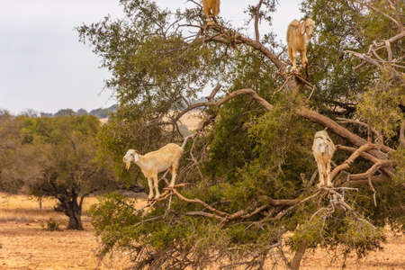 Goats climbing an argan oil tree for eating its fruits in southern Morocco
