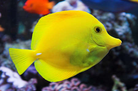 yellow tang: Yellow tang salt water fish in aquarium Stock Photo