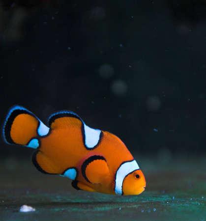 clown fish: Clown salt water fish in aquarium