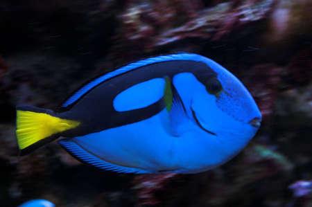 blue fish: Blue marine parrot fish in aquarium Stock Photo