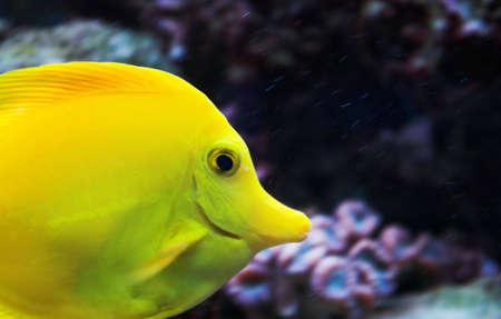 tang: Yellow Tang fish swimming in saltwater aquarium Stock Photo