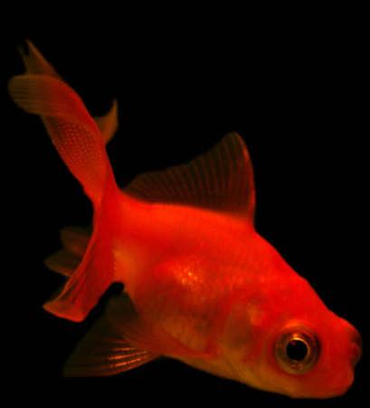 aquarium hobby: Small red goldfish isolated on a black background
