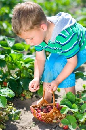 Little boy harvesting fresh strawberries from the garden Stock Photo - 25271193