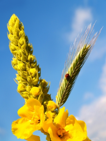 coccinellidae: Mullein and barley with ladybug against a blue sky
