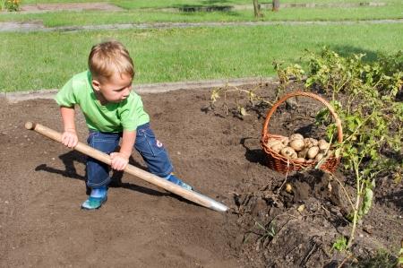 Kleiner Junge Kartoffelernte aus dem Garten Standard-Bild - 25291250