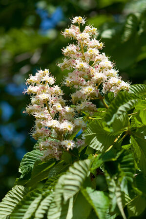 Chestnut flower in the sun of spring   photo