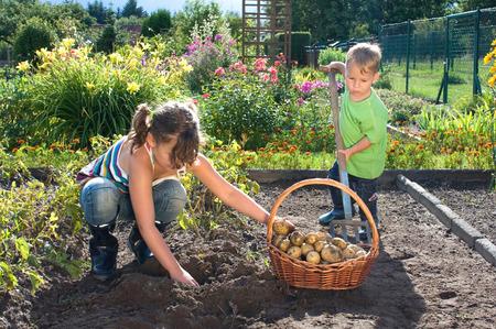 Children picking potatoes in the garden