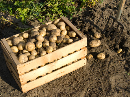 Potatoes in a wooden box fresh from the field