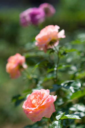 rosebush: Pink roses on the bush