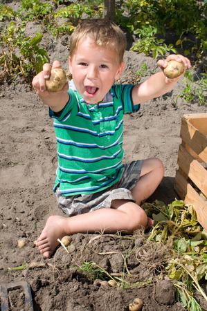 Little boy harvesting potatoes from the garden