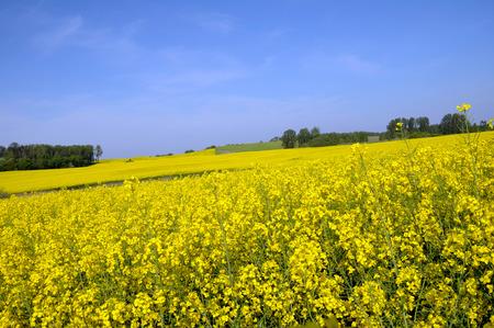 feld: Rapsfeld diagonal zum blauen Himmel  Rape field diagonally to the blue sky