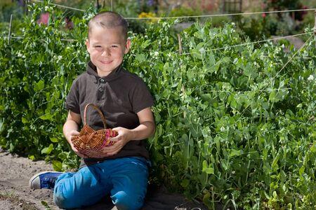reaping: little boy reaping peas in Garden