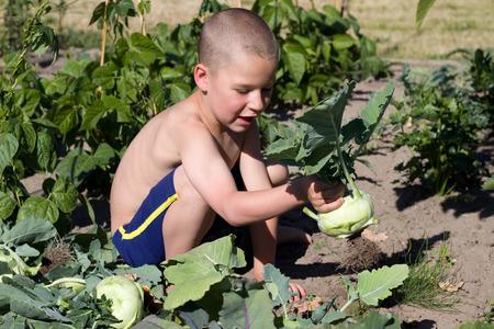 reaping: little boy reaping turnip greens in Garden
